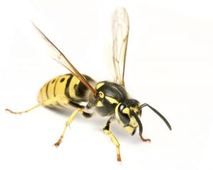 Prevent wasp nests like this yellowjacket on white background